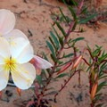 The desert supports a wide range of flowering plants.- Lower Muley Twist Loop