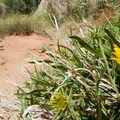 Spring flowers bloom along the trail.- Grand Wash Trail to The Narrows