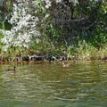 A couple of mallards searching for food along the river banks.- Boise River Float