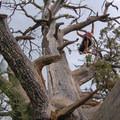 Monkeying around in an old juniper tree.- Fatman's Loop Trail