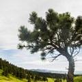 A ponderosa standing in a meadow near the National Center for Atmospheric Research (NCAR) Trailhead.- Bear Peak via Fern Canyon