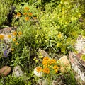 An abundance of wildflowers are present at the right times of year.- Bear Peak via Fern Canyon