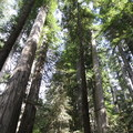 Looking up at the towering redwoods in Jedediah Smith State Park..- Boy Scout Tree Trail
