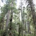 The Boy Scout Trail, Jedediah Smith State Park.- Boy Scout Tree Trail