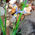Wild irises bloom near the water.- Kelly Canyon