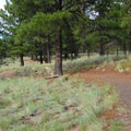 Gently rolling trails among ponderosa pine.- Campbell Mesa Trails