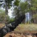 Traces of the pine forest's natural fire ecology.- Campbell Mesa Trails