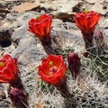 Bright red claret cup cactus flowers are a striking addition to the canyon.- Capitol Gorge to the Tanks