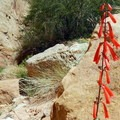 Red penstemon blossoms in a showy spike along the trail.- Capitol Gorge to the Tanks