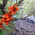 Tropical flowers along the trail.- Kalalau Trail