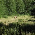 Roosevelt elk on the Green River Trail.- Goat Mountain + Green River Loop