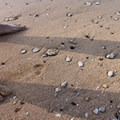 The sandy Secret Beach dotted with shelled and pebbles.- Secret Beach/Kauapea Beach