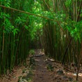 The majestic bamboo forest. On a cloudy day, minimal light enters through the thick bamboo canopy.- Pīpīwai Trail Hike