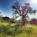 Valley Oak in the spring.- Upper Bidwell Park