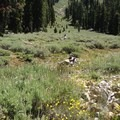A sea of sagebrush and wildflowers between stands of fir.- Deadfall Lakes + Mount Eddy