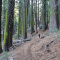 Old-growth along the Four Mile Trail.- Yosemite National Park