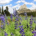 Lupine near Cathedral Lakes.- Yosemite National Park