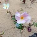 Primrose flowers creep along the sand.- Hickman Natural Bridge