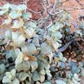 Silvery leaves of buffaloberry plants.- Hickman Natural Bridge