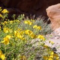 In spring several shrubs bloom with bright, yellow flowers.- Hickman Natural Bridge
