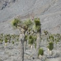 Mojave yucca (Yucca schidigera) on the way to the Racetrack.- The Racetrack