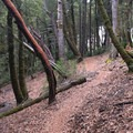 Pacific madrone and tan oak dominate the uper sections of fools paradise.- Paradise Royale Mountain Bike Trail