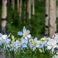 Blue columbines are common in the aspen forests around the lakes.- Mesa Lakes Recreation Area