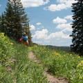 Golden banner (Thermopsis montana) fills the meadows.- Crags Crest Trail
