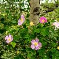 Wild rose (Rosa woodsii) and aspen.- Interlaken Trail