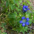 Explorer's gentian.- Elk Mountain Loop via Elk Creek Trail