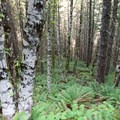 The Elk Creek Trail turns to lush alder with a dense fern understory.- Elk Mountain Loop via Elk Creek Trail