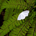 A pale beauty moth on a maidenhair fern.- Elk Mountain Loop via Elk Creek Trail