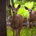 Deer are very common along some sections of the JMT trail and around campsites.- John Muir Trail Section 1