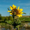 Sunflower along the trail.- Trail of the Mourning Dove