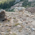 Goats are common in the area surrounding Mount Stuart and Lake Ingalls.- Mount Stuart: West Ridge