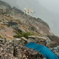 A goat checks out an unsuspecting camper in the Cascadian Couloir.- Mount Stuart: West Ridge