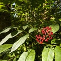 Red elderberry (Sambucus racemosa).- Boulder Ridge Trail Hike