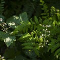 Foamflower (Tiarella trifoliata) and lady fern (Athyrium filix-femina).- Boulder Ridge Trail Hike
