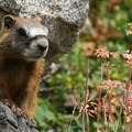Yellow-bellied marmots are very common here.- Catherines Pass Hike