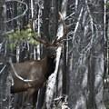 Elk in the lodgepoles along the Twin Sisters Trail.- Twin Sisters Peak Hike