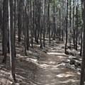 Lodgepole pine.- Twin Sisters Peak Hike