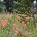 Wildflowers along Killen Creek.- Mount Adams: High Camp via Killen Creek