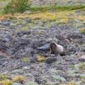 Marmot at High Camp.- Mount Adams: High Camp via Killen Creek