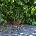 Rabbit at Shovel Lake.- Mount Margaret Backcountry Lakes