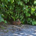 Rabbit at Shovel Lake.- Mount Margaret Backcountry Lakes