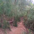 Ironwood pines and their needles drape the trail.- Kuli'ou'ou Ridge