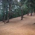 Pine needles provide a clean bed across the trail.- Kuli'ou'ou Ridge