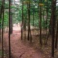 Young Norfolk pines.- Kuli'ou'ou Ridge