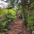 The strait and steep trail is covered with thick roots that provide excellent traction.- Kuli'ou'ou Ridge