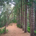 The Norfolk pine grove almost looks planted.- Kuli'ou'ou Ridge